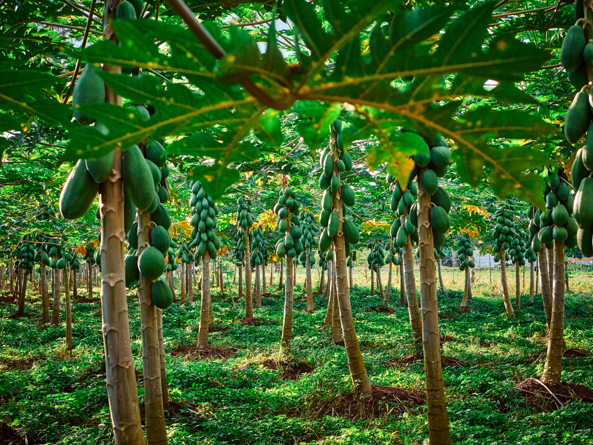 papaya bomen